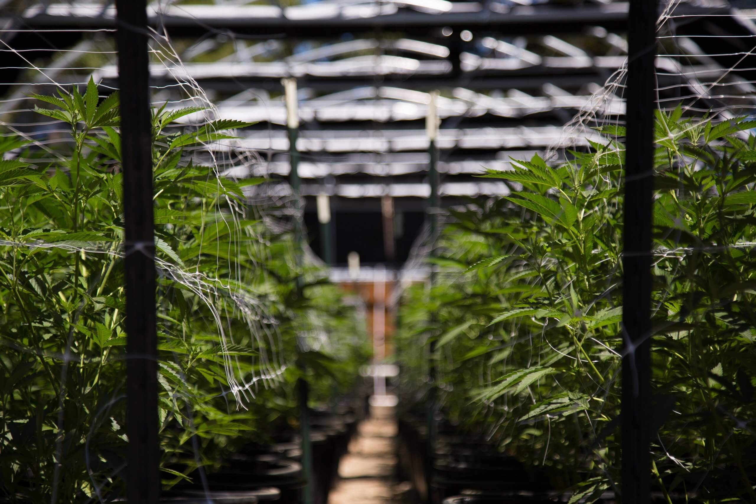 cannabis plants in an industrial dacility