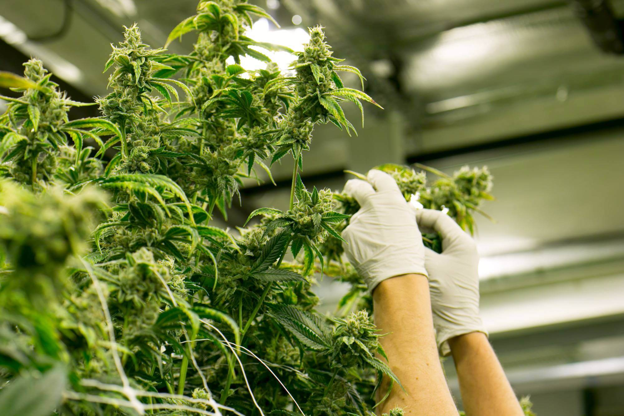 hands with gloves harvest cannabis plant